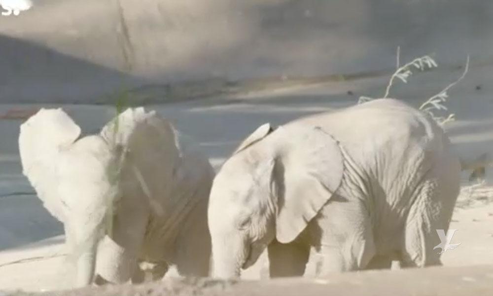Zuli y Kaia los dos elefantes más jóvenes del San Diego Zoo