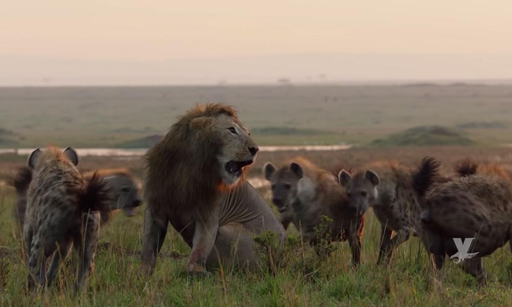(VIDEO) León es atacado por un grupo de 20 hienas, el final es inesperado