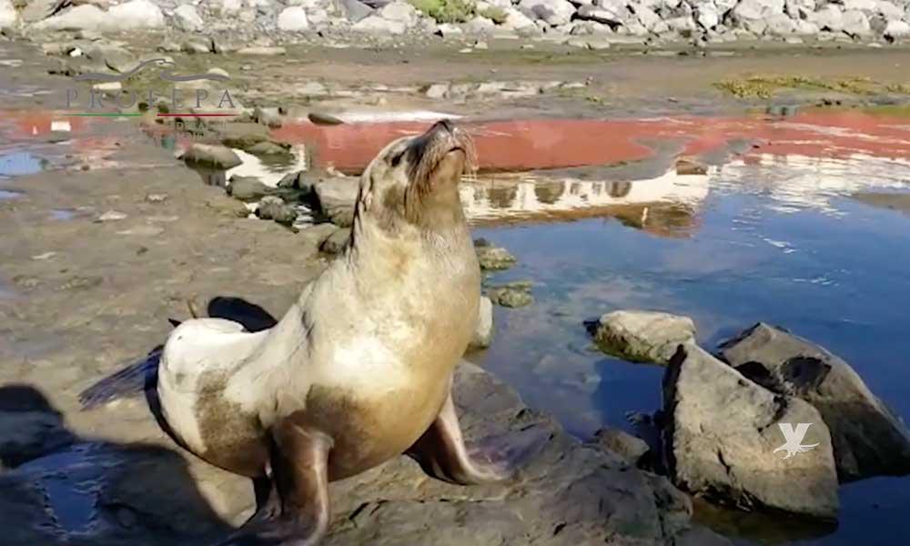 (VIDEO) Rescatan a lobo marino varado en el puerto de Ensenada