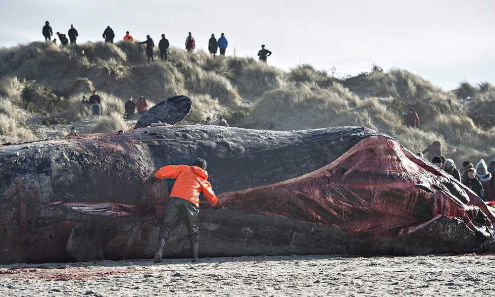 Muere ballena con más de 6 kilos de plástico en su estómago