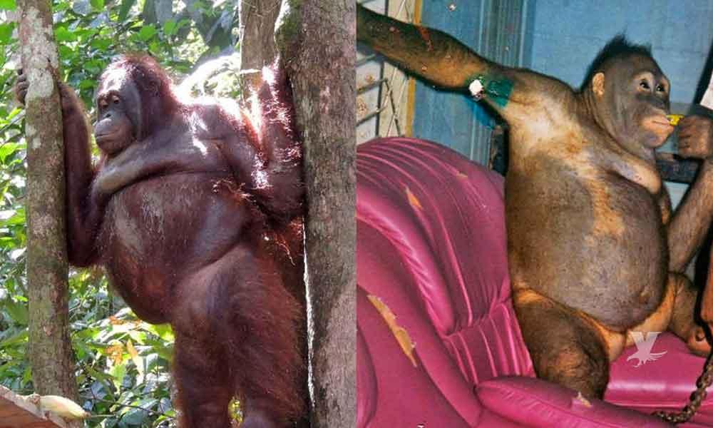 Orangután fue obligada durante años a prostituirse por poco más de 50 pesos