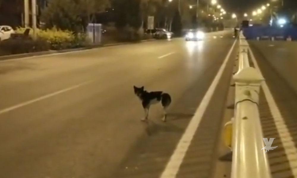 (VIDEO) Perro lleva 80 días esperando a su dueña en la carretera donde murió atropellada
