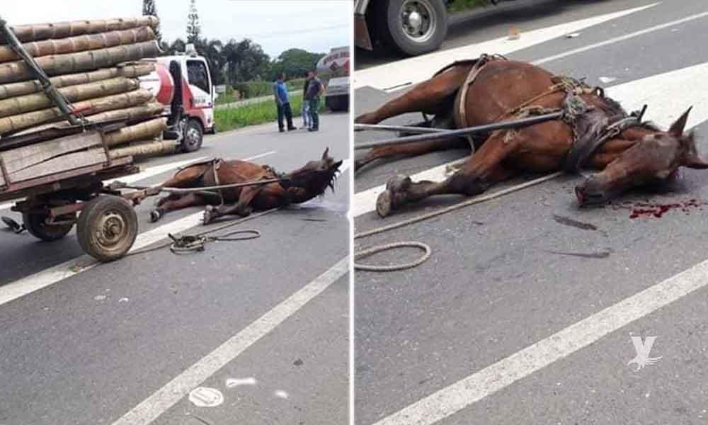 Caballo se desploma muerto de cansancio por exceso de carga