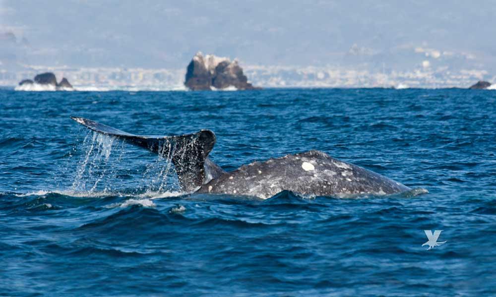 Invitan al avistamiento de ballenas en Bahía de Todos Santos en Ensenada