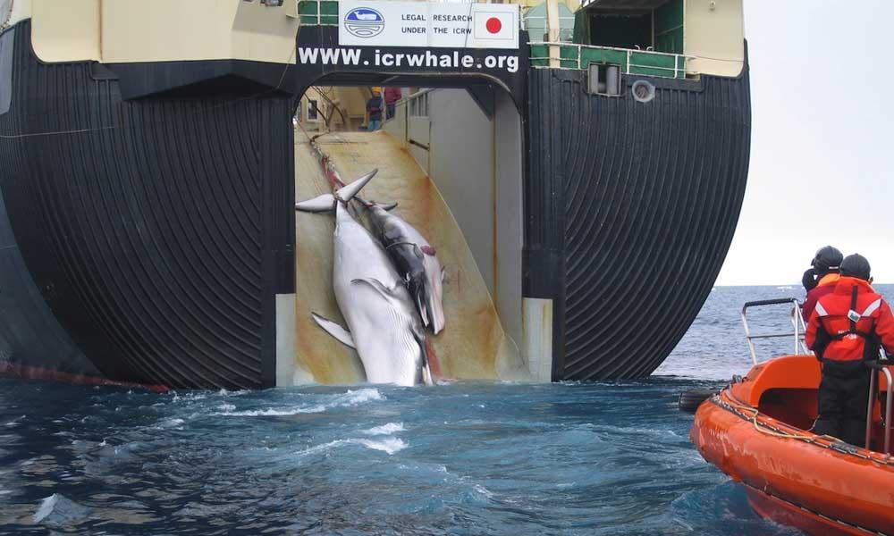 Japón anunció que reanuda la caza de ballenas con fines comerciales