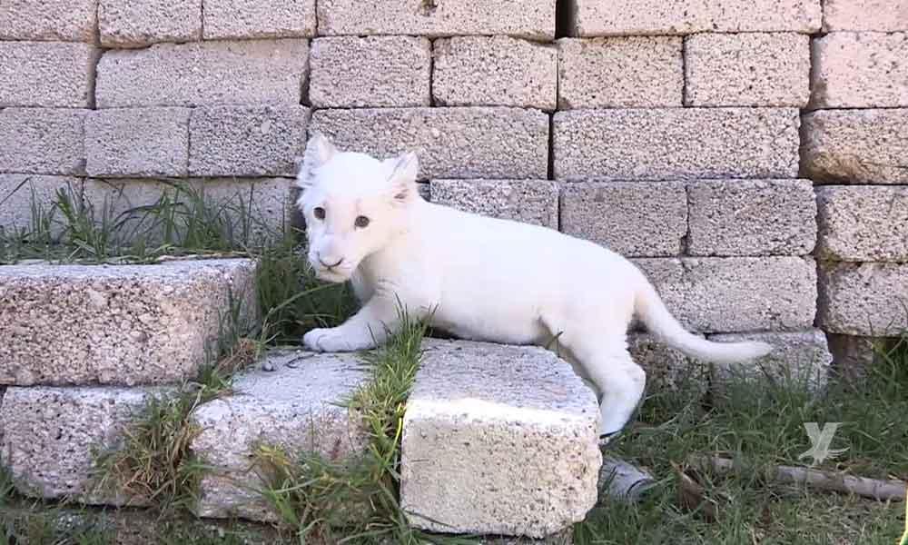 """Nace """"Nieve"""", una cría de León Blanco en zoológico de Tlaxcala"""