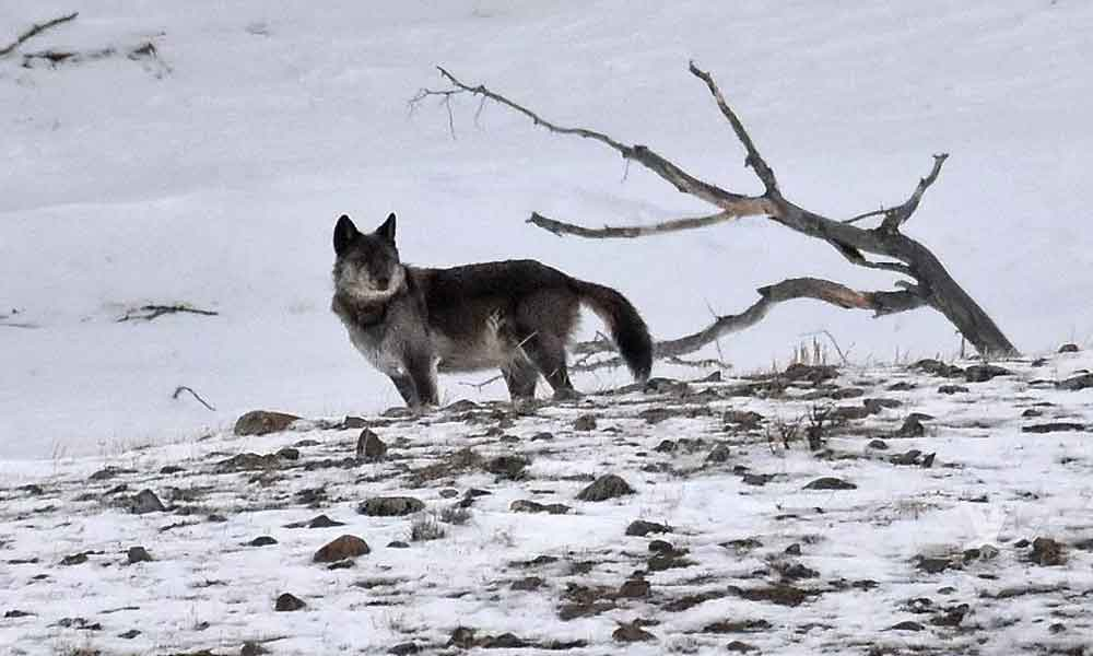 """Cazadores matan 'legalmente' a """"Spitfire"""" famosa loba de Yellowstone"""
