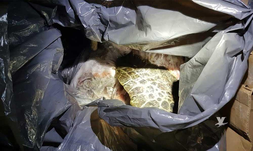 Detienen camión con 90 kilos de carne y aletas de tortuga marina ilegal en Ensenada