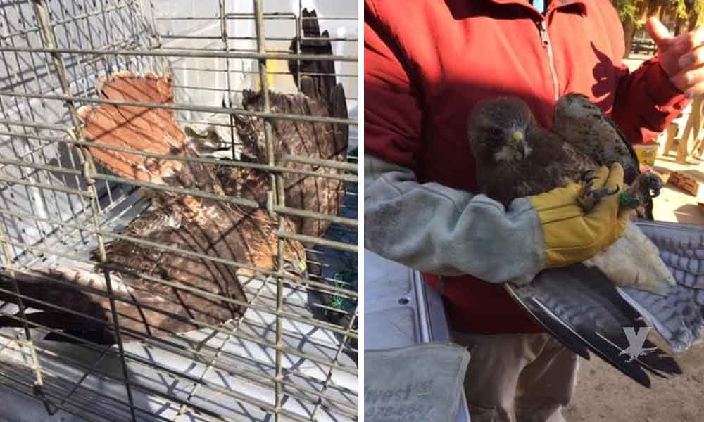 Rescata PROFEPA un águila cola roja y recibe una aguililla de Swainson lesionadas en Baja California