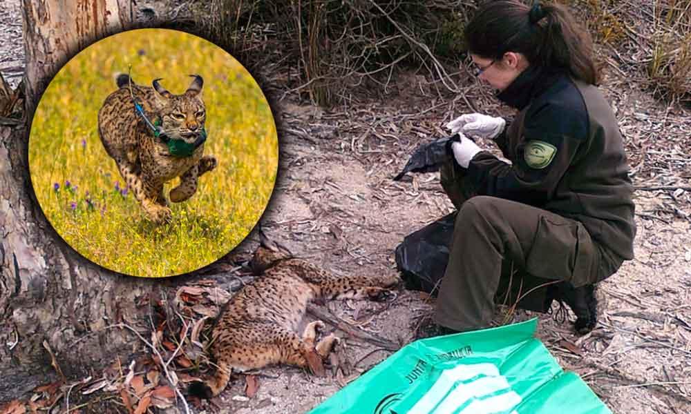 Lince Ibérico en peligro de extinción es encontrado muerto con cerca de 300 disparos
