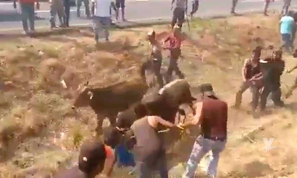 (VIDEO) Nuevamente pobladores aprovechan accidente y roban ganado que era trasladado en un tráiler