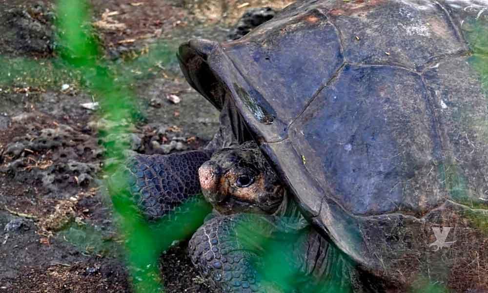 Encuentran tortuga hembra de especie se creía extinta en Galápagos