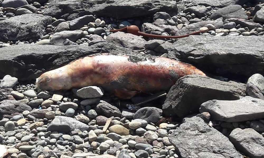 Muere lobo marino por supuesto varamiento en playa de Ensenada