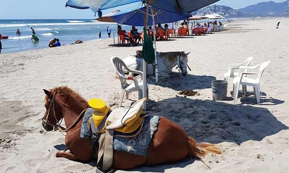 Denuncian maltrato animal por caballos de renta en playas