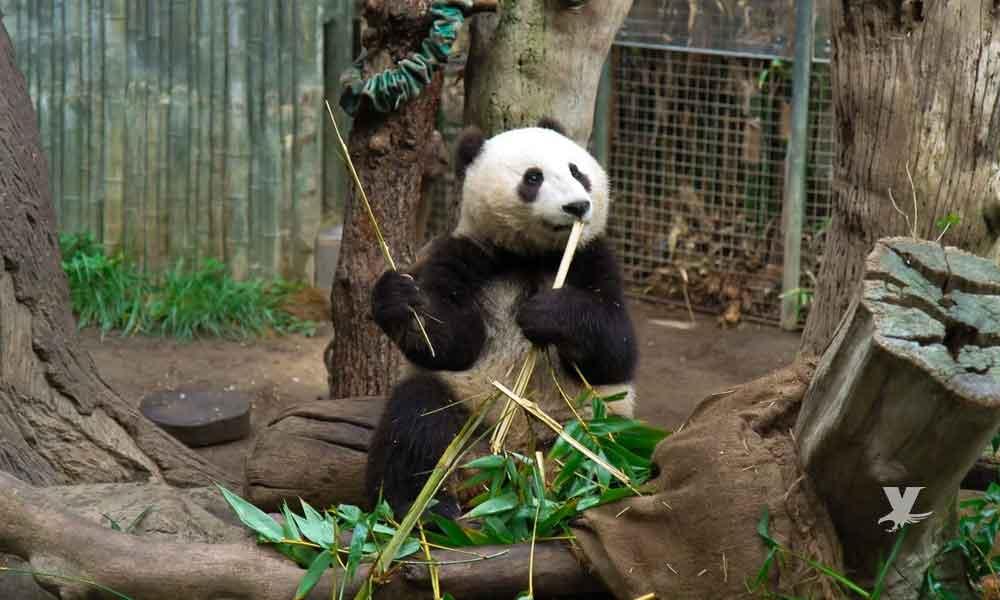 Pandas del San Diego Zoo serán devueltos a China