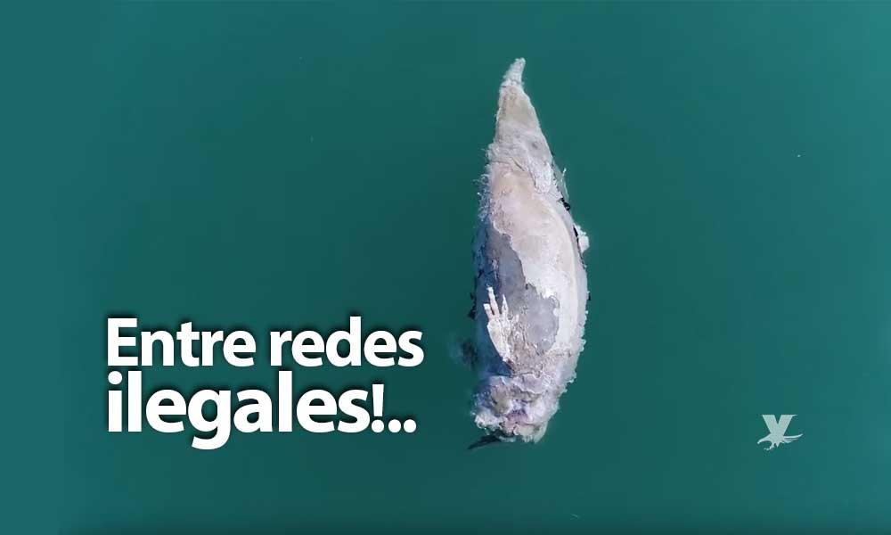 Primera vaquita marina muerta de 2019; entre redes ilegales de pesca