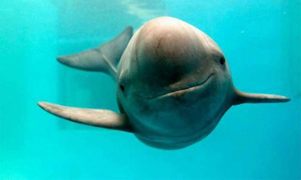 Sólo 22 ejemplares, la Vaquita Marina podría extinguirse para junio
