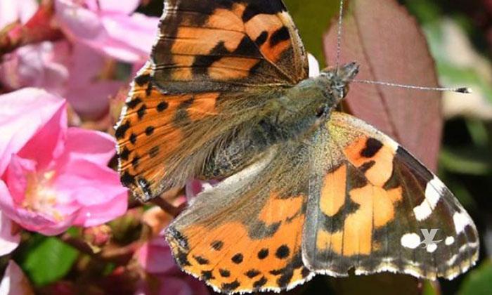 """Sorprende a San Diego la visita de mariposa """"Painted Ladies"""""""