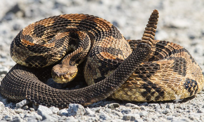 Inicia temporada de avistamientos de serpientes de cascabel