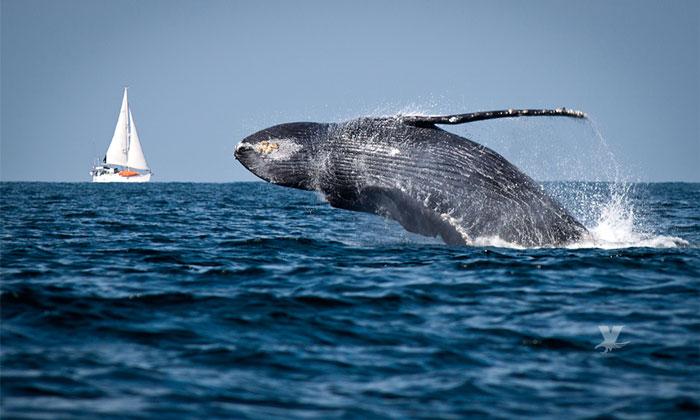 Encuentran en Baja California ballenas con problemas de desnutrición
