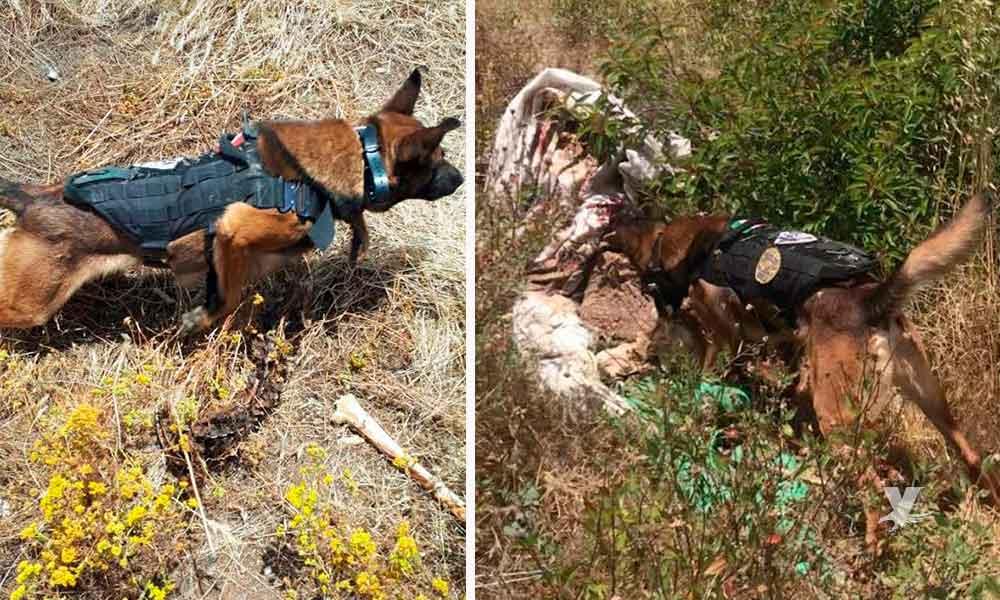 Binomio Canino localiza en Tijuana restos de cuerpo humano reportado como desaparecido