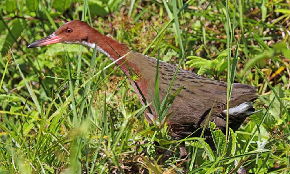 Encuentran en isla solitaria un ave que se creía extinta hace 100 mil años