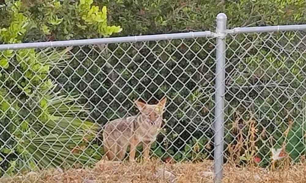 Reportan tres casos de ataques por coyotes en San Diego