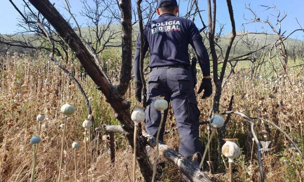 Destruye la Federal plantío de amapola en Tecate