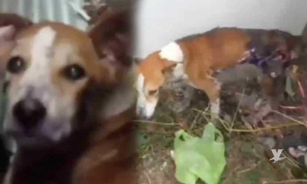 Trabajadores quemaron a perro con asfalto hirviendo y lo abandonaron para que agonizara