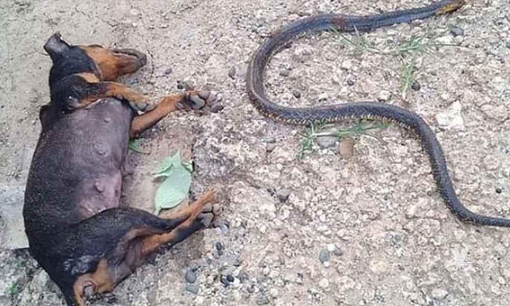 (VIDEO) Perros pelean contra cobra que intentaba ingresar a casa donde había una niña