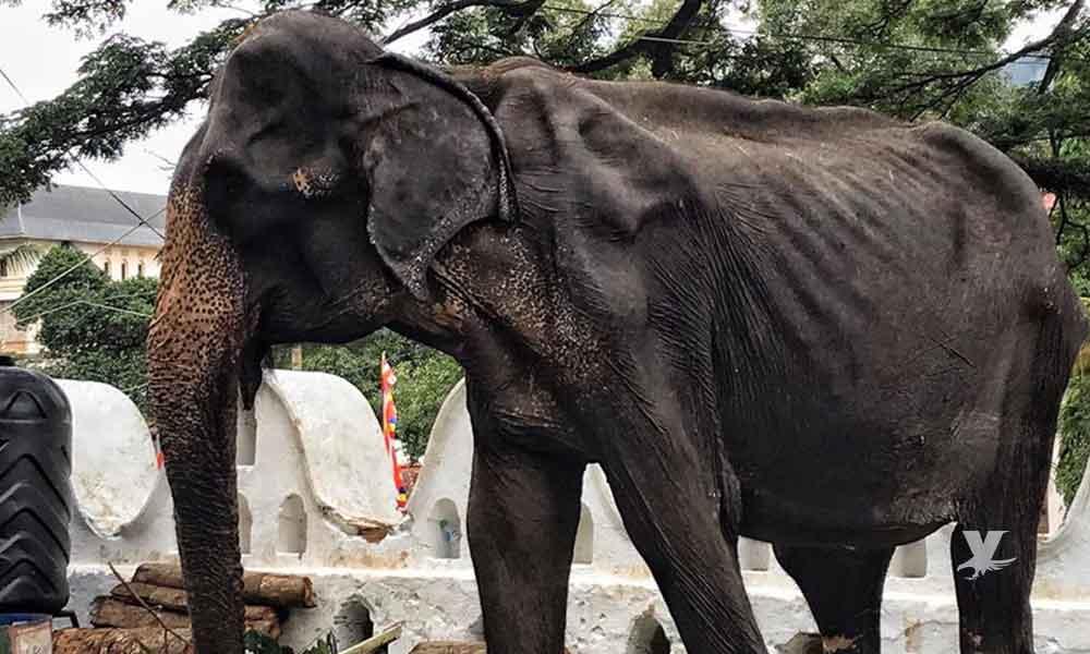 Elefante desnutrido es obligado a desfilar en festival budista