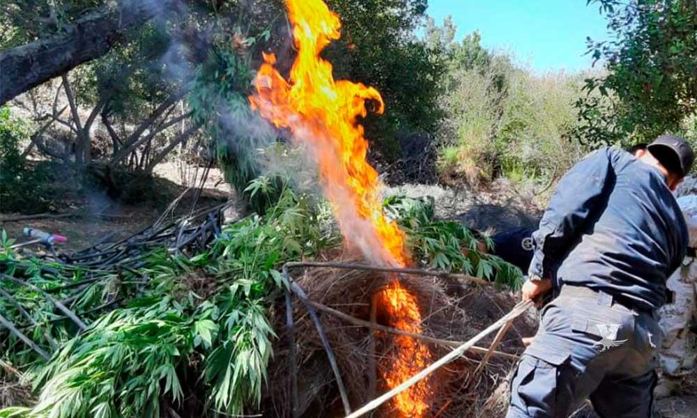 Localiza PEP y SEDENA 3 plantíos de marihuana en Ensenada