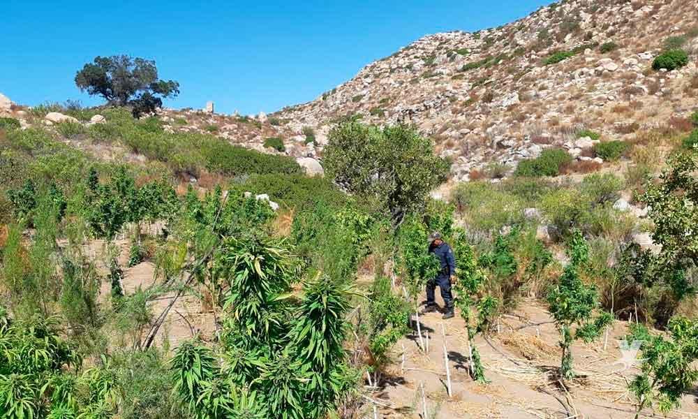 Encuentra PEP plantío de marihuana en Valle de Las Palmas