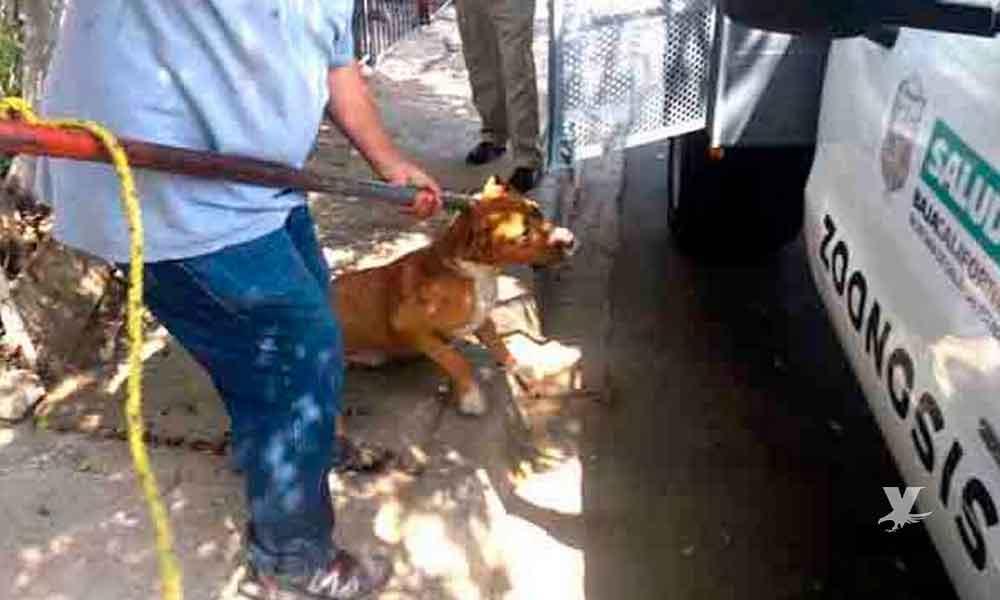 Pitbull ataca y lesiona a dos menores de edad en Mexicali