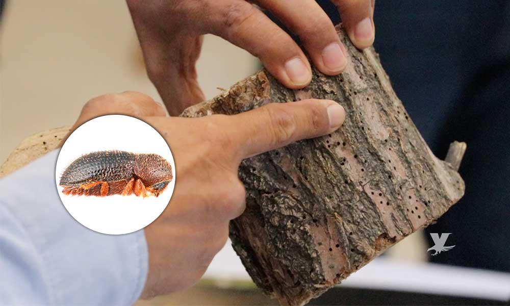 Escarabajo Barrenador el insecto más dañino; un peligro para los árboles de la región