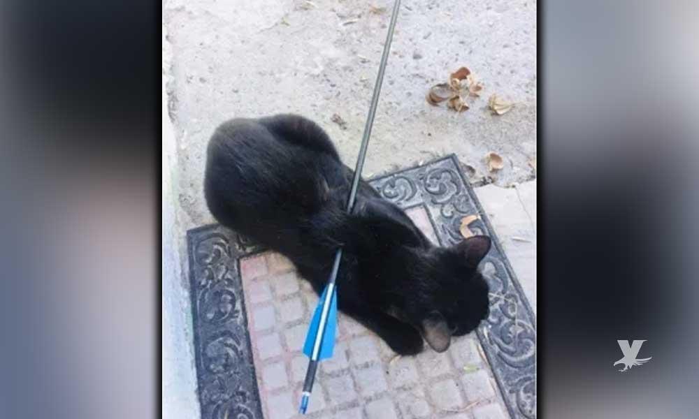 Gato es encontrado en Reynosa con una flecha que atravesaba su cuerpo