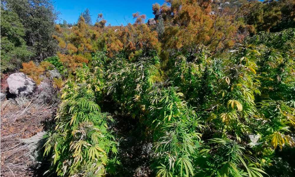 Destruye PEP y Guardia Nacional 10 plantíos de Marihuana
