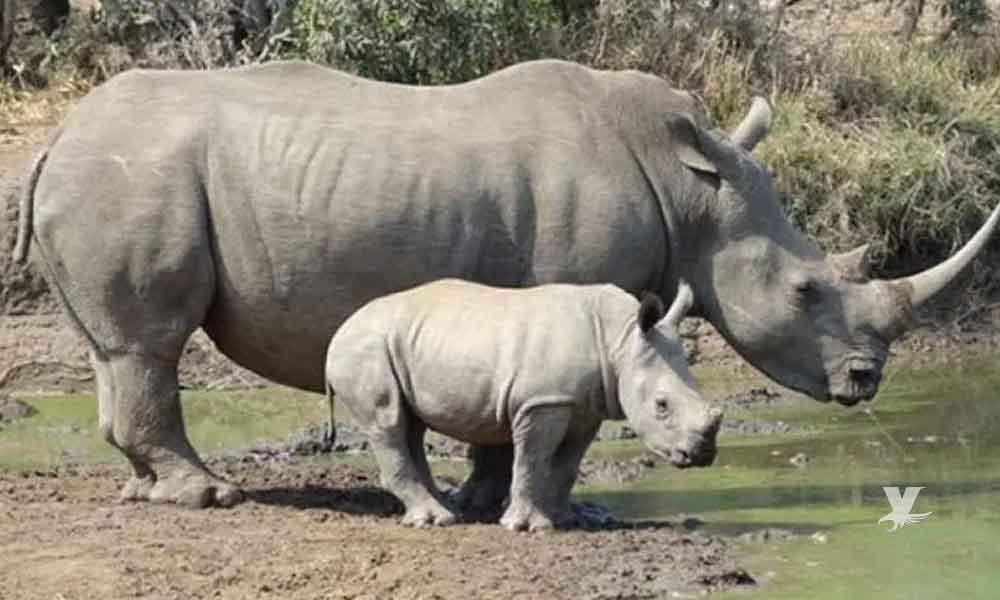 Nace cría hembra de rinoceronte blanco en San Diego Zoo