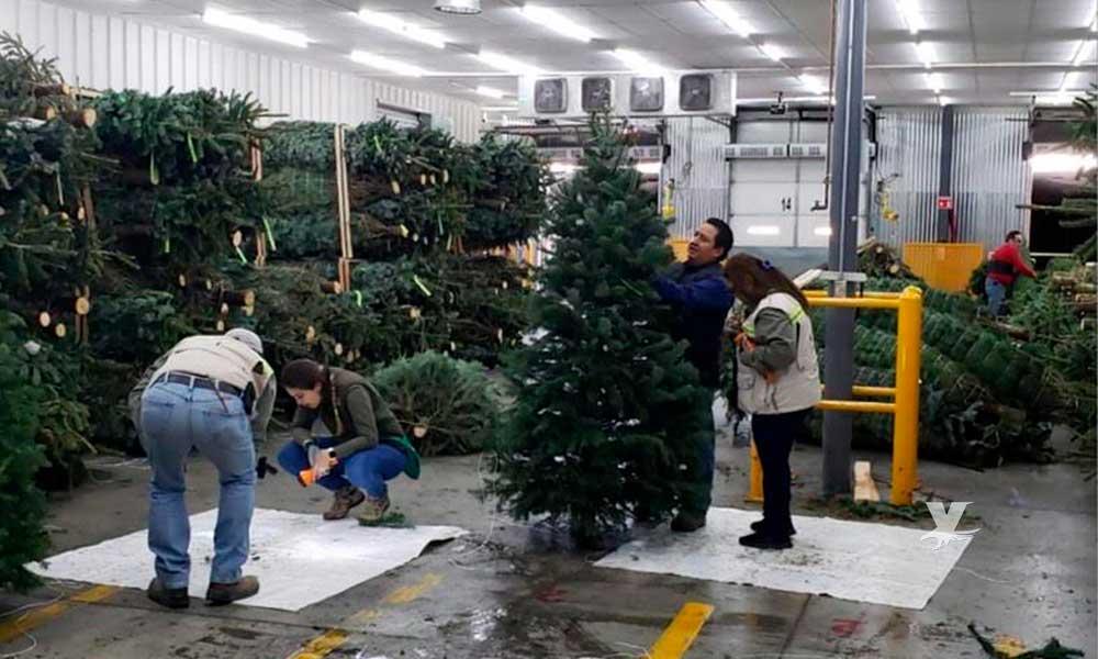 Profepa inspecciona árboles de navidad naturales que ingresarán a Baja California