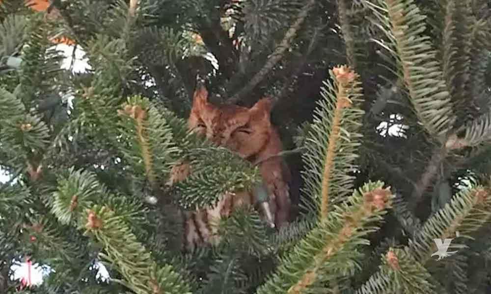 Familia compra árbol de navidad y encuentra un búho en su interior