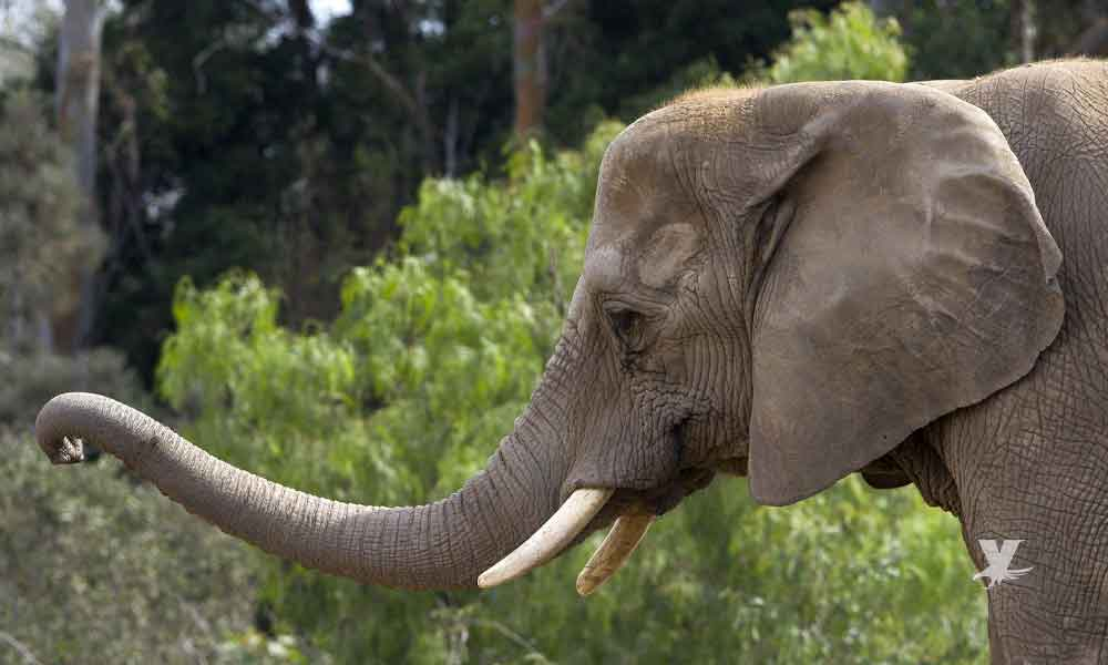 Murió Tembo, la elefanta del Zoológico de San Diego