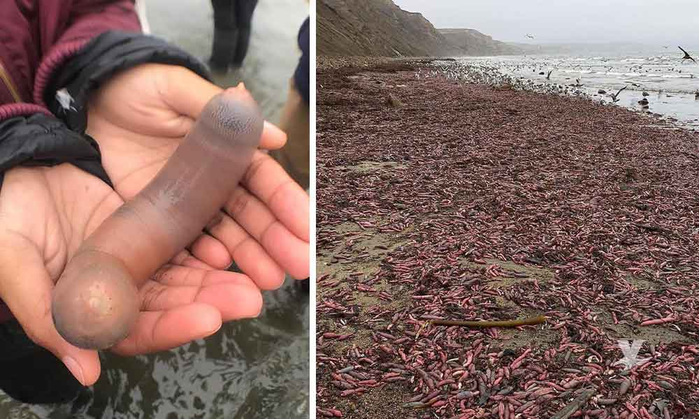 "Playas de California son invadidas por millones de ""peces pene"""