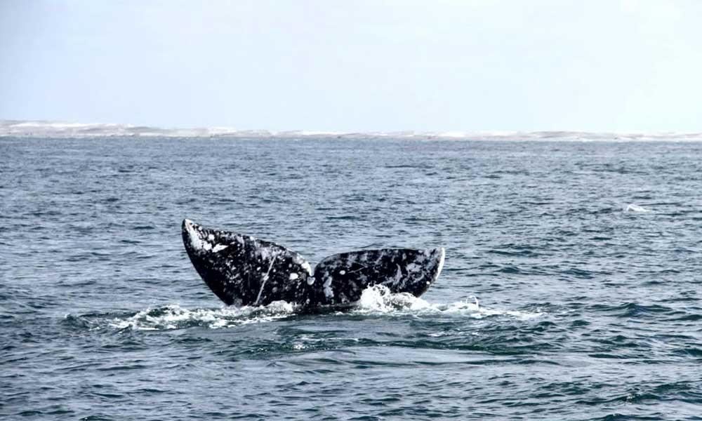 Inicia periodo de avistamiento de ballenas en costas de Baja California