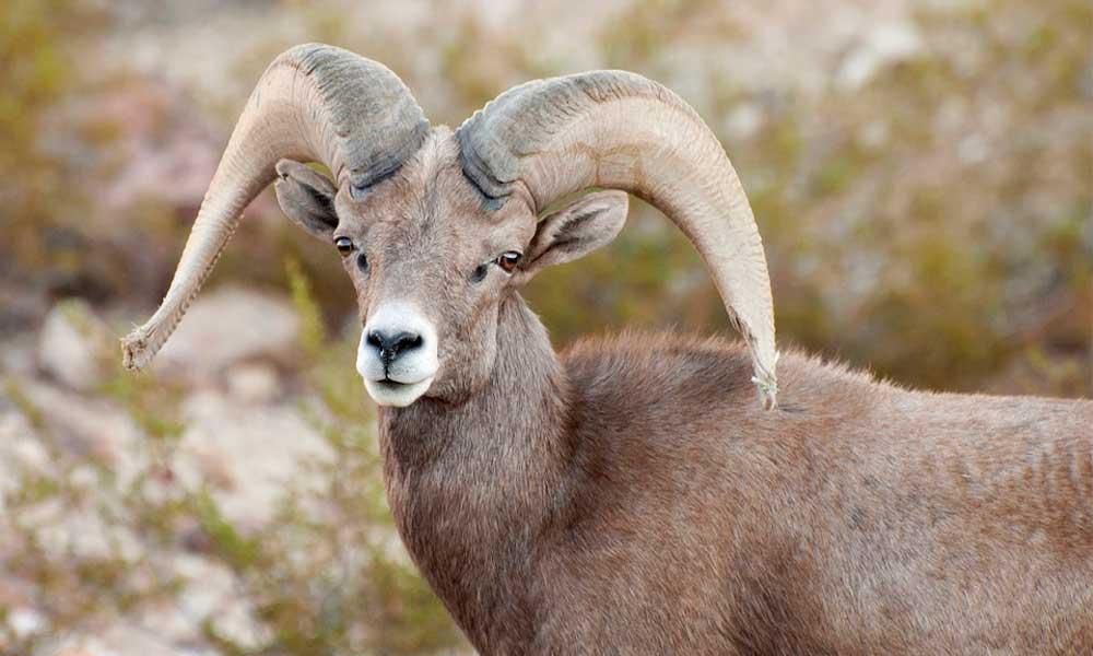 Diputado Fausto Gallardo presenta exhorto para prohibir la caza de Borrego Cimarrón en todos los Estados