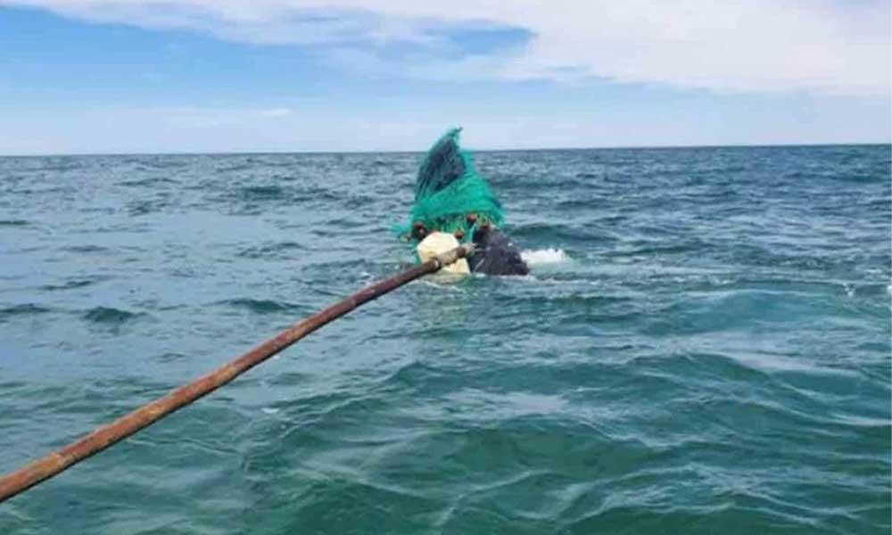 Logran liberar a ballena de redes de pesca en Baja California