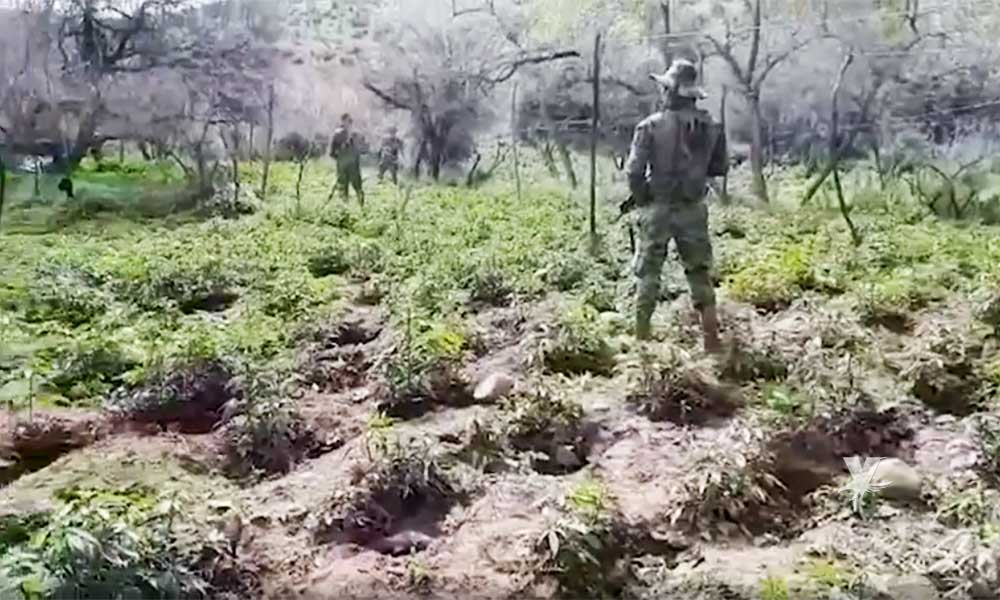 Localizan plantío de marihuana en Valle de las Palmas en Tecate; Incineran más  65 mil plantas