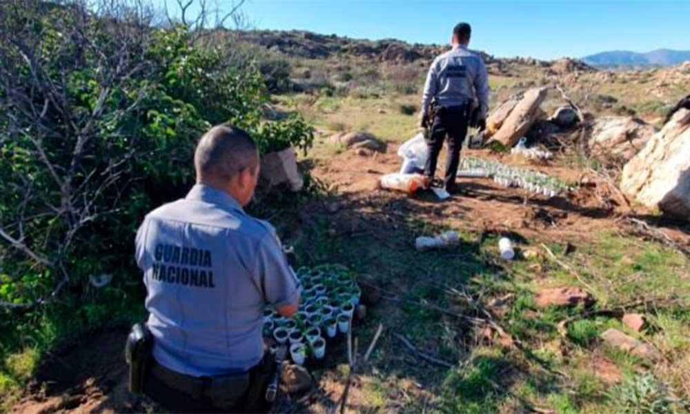 Localizan y destruyen plantío de marihuana en Tecate