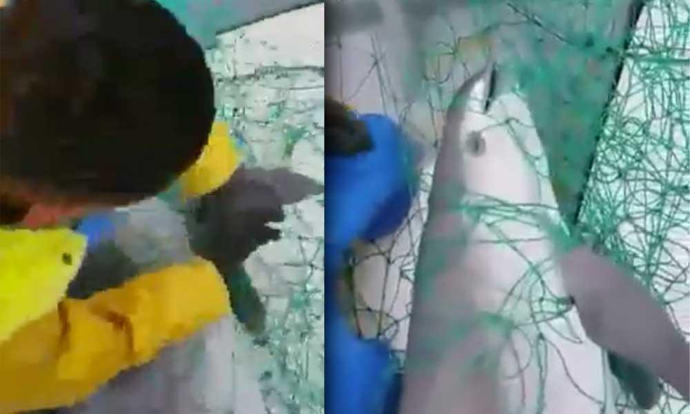 ¡Triste! Pescadores graban a vaquita marina enredada en red de pesca