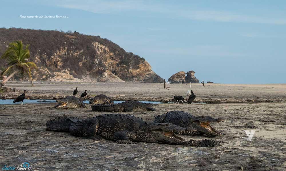 Cocodrilos toman las playas de Oaxaca