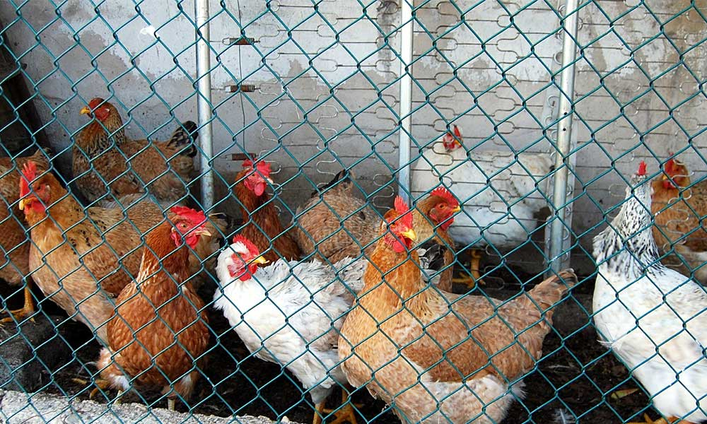 China buscan prohibir sacrificio y venta de aves vivas en mercados